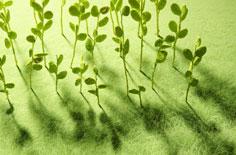 野核桃树枝煎水抗癌民间偏方和十穀米养生偏方