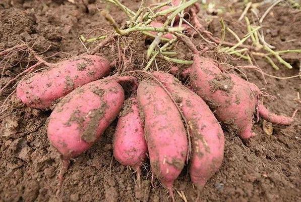 农村常种的4种薯类农作物,都是实实在在的养生食物