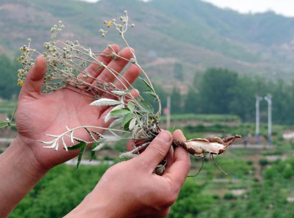 农村山上一种长得像鸡爪的草:翻白草,原来是一味中药