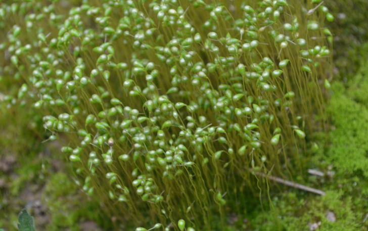 葫芦藓:长得像豆芽,是中药及空气污染程度指示植物