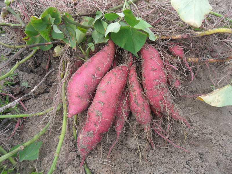 你吃过烤红薯吗?回忆童年在农村烤红薯的趣事