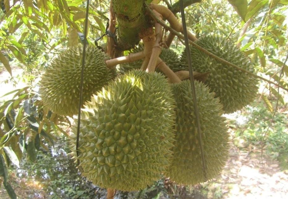 生长在树干上,树叶上的奇特热带水果:榴莲、菠萝蜜、火龙果