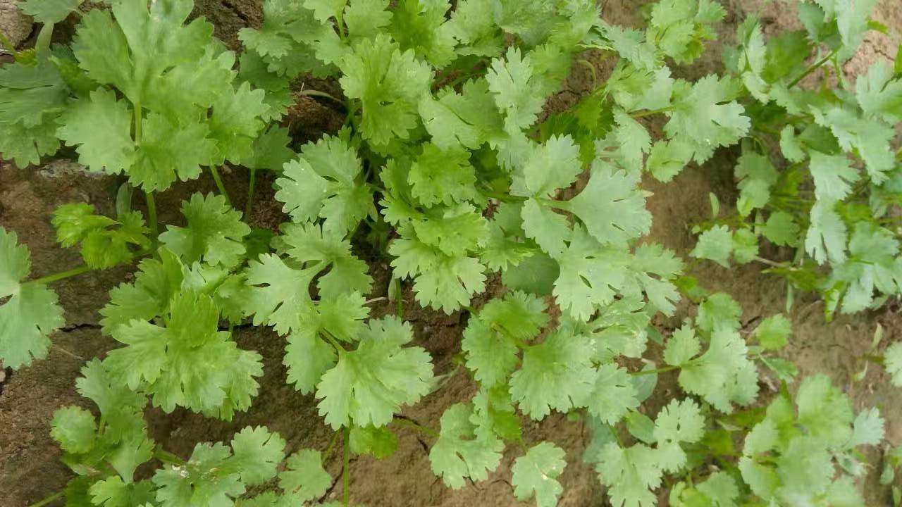 农村冬季常种的4种调味蔬菜