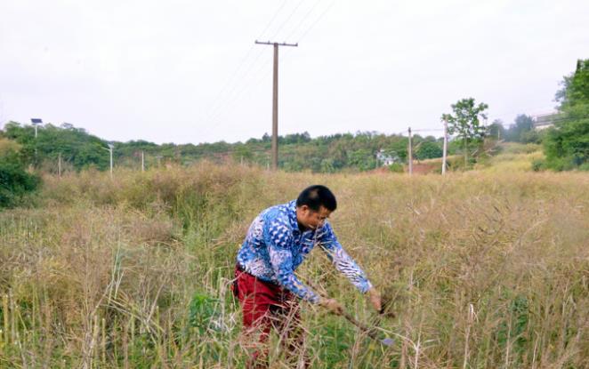 农村油菜什么时候收割?看看传统手工如何收获油菜籽