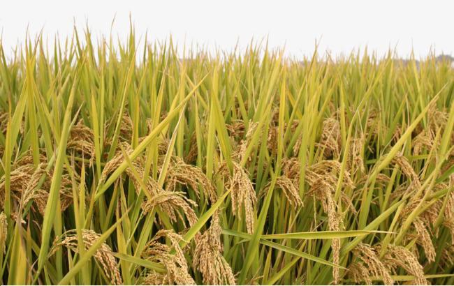 农民种田那么辛苦,一亩田稻谷能卖多少钱?