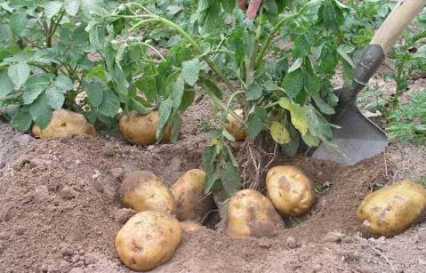 土豆与谷类混吃可提高蛋白质利用率
